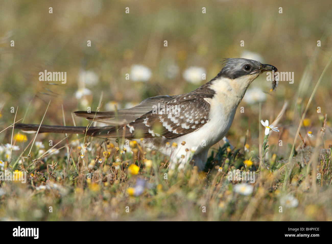 Great Spotted Cuckoo (Clamator glandarius), on meadow with caterpillar in beak, Portugal - Stock Image