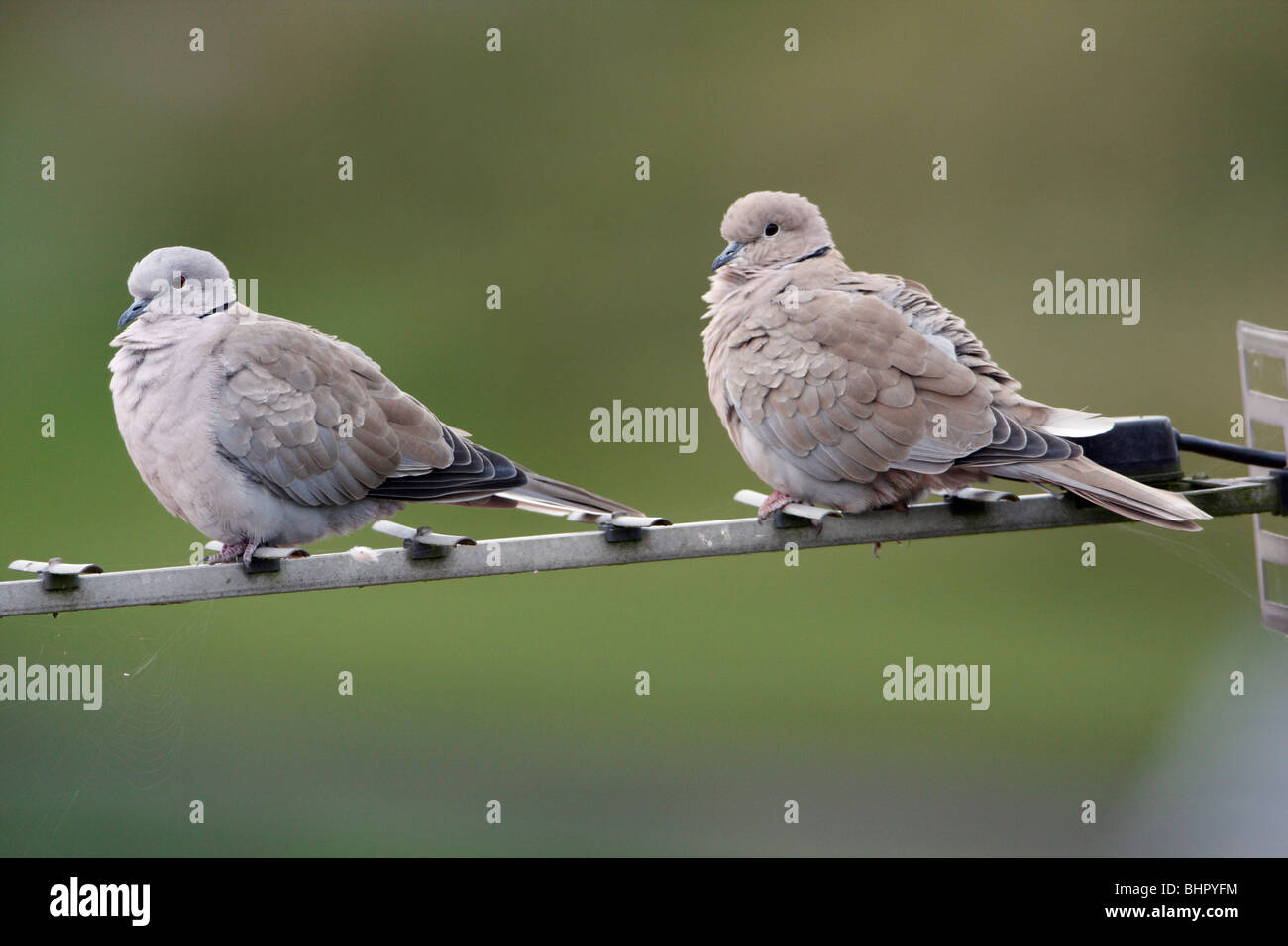 Collard Dove (Streptopelia decaocta), pair perched on TV aerial, Northumberland, England, UK  - Stock Image