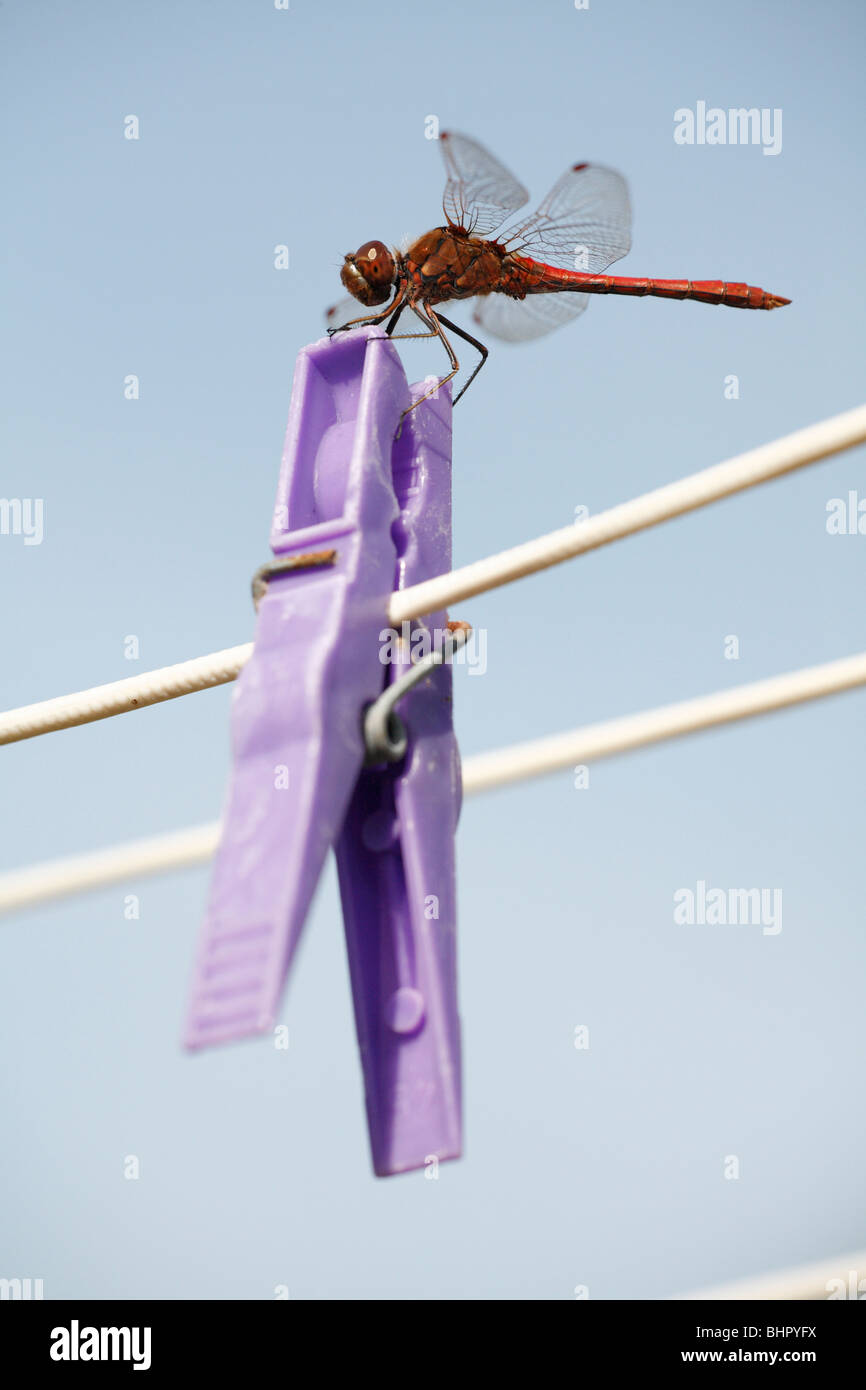 Ruddy Darte Dragonfly (Sympetrum sanguineum), resting on clothes peg, Texel Island, Holland - Stock Image