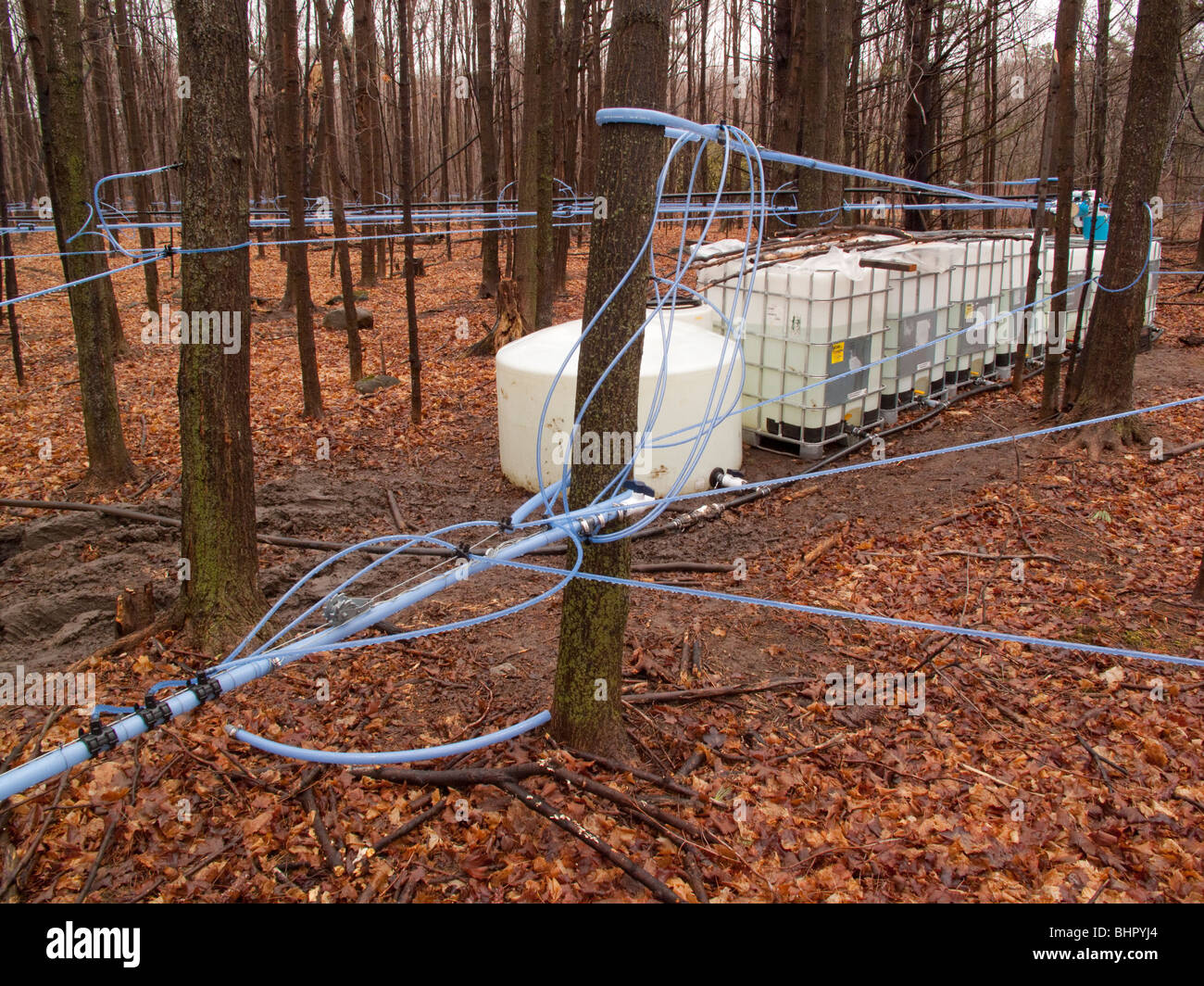 collecting-maple-syrup-BHPYJ4.jpg