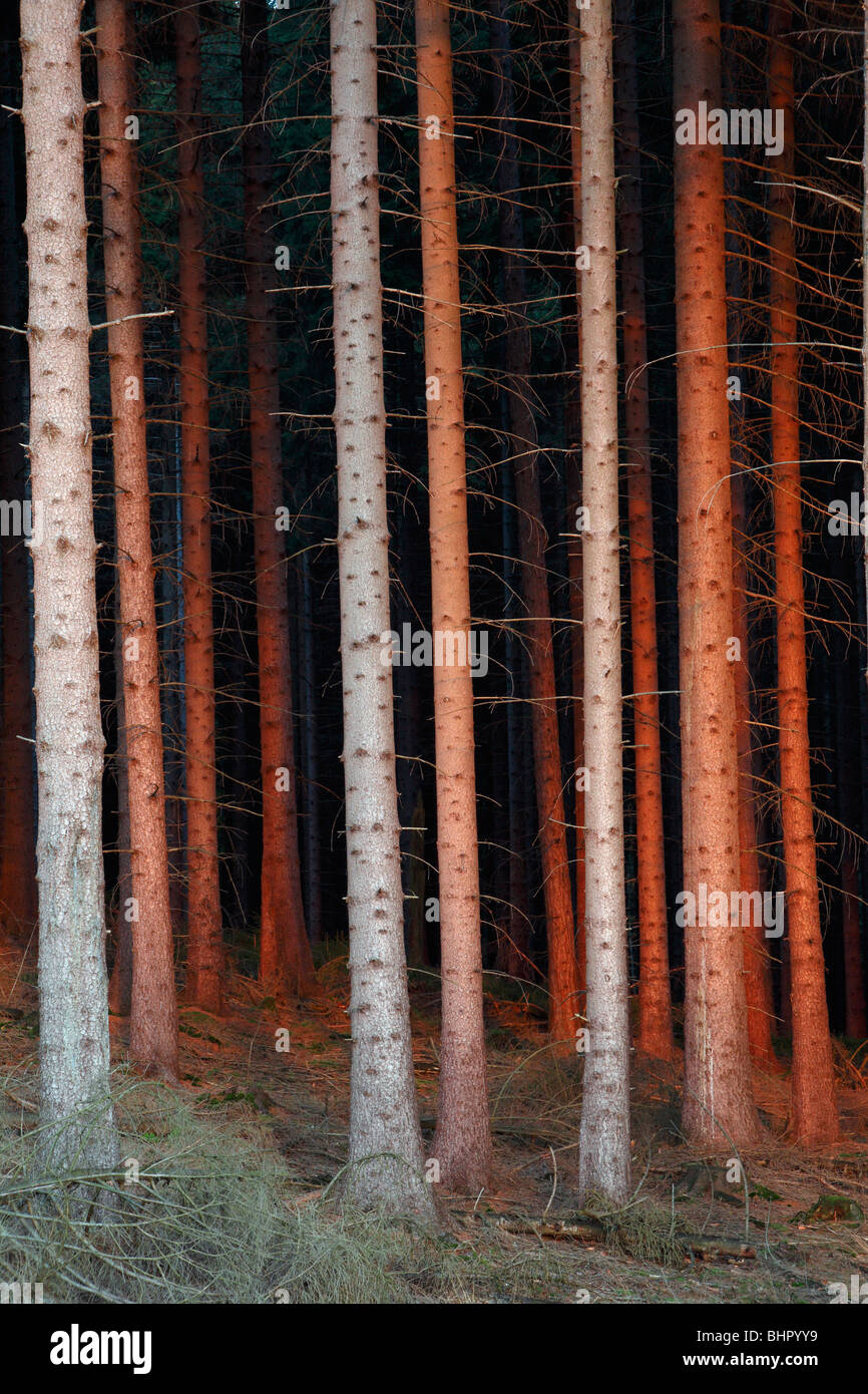 Fir Tree Stems (Picea abies), in glow of setting sun, Germany - Stock Image
