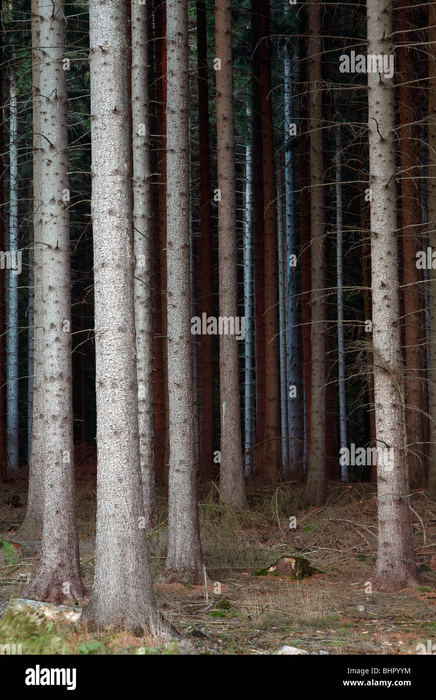 Fir Tree Stems (Picea abies), forestry in Germany - Stock Image