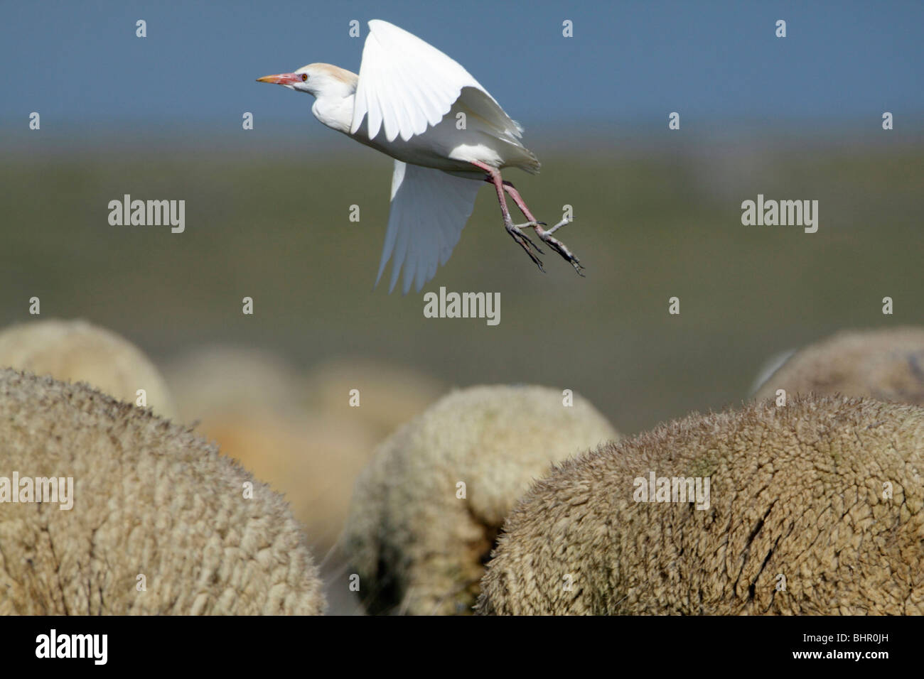 Cattle Egret (Bubulcus ibis), flying off from merino sheep's back, Portugal - Stock Image