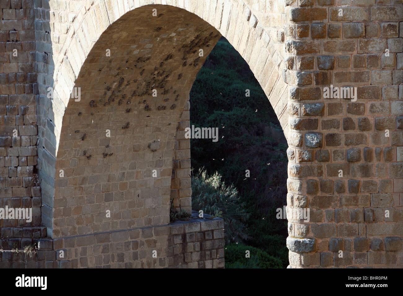 Crag Martin, (Hirundo rupestris), nesting colony under arch of bridge, Extremadura, Spain - Stock Image