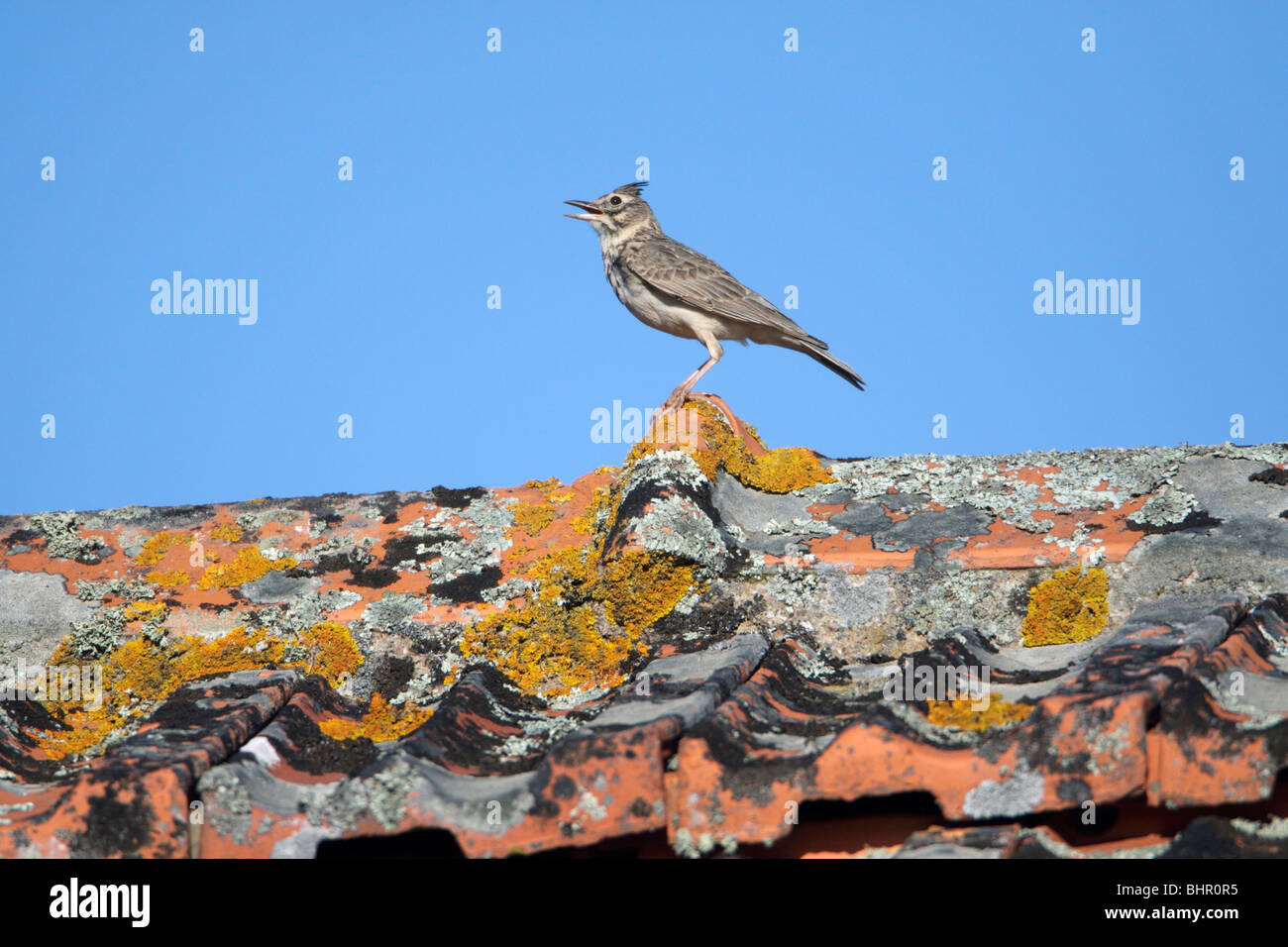 Crested Lark (Galerida cristata), perched on roof singing, Portugal Stock Photo