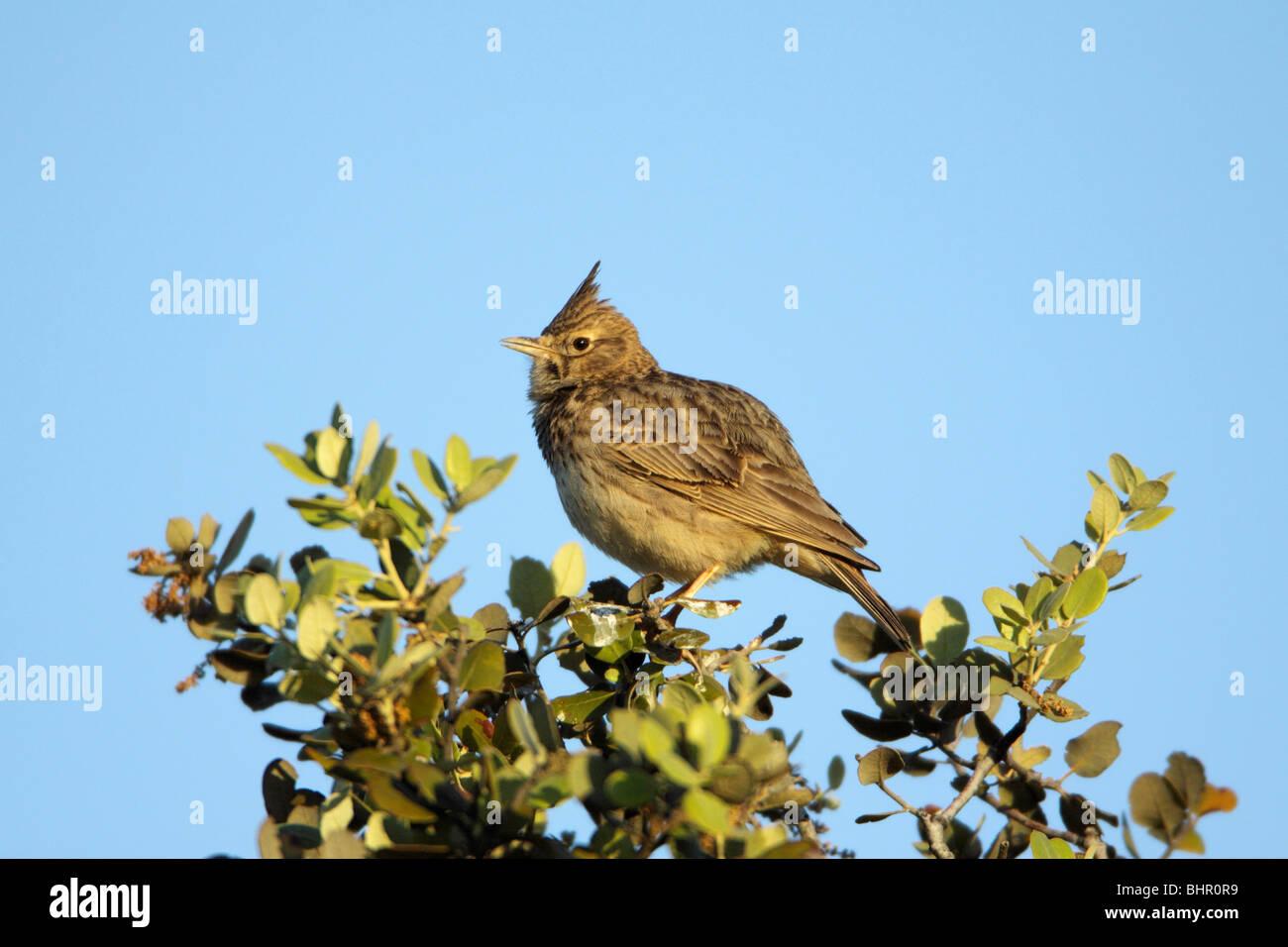 Crested Lark (Galerida cristata), perched on Holm Oak, singing, Portugal Stock Photo