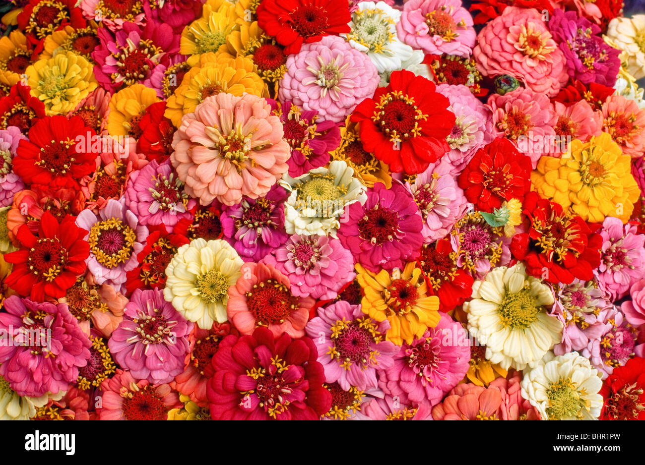 Tightly Packed Bouquets Of Red Orange Yellow Pink And White Stock