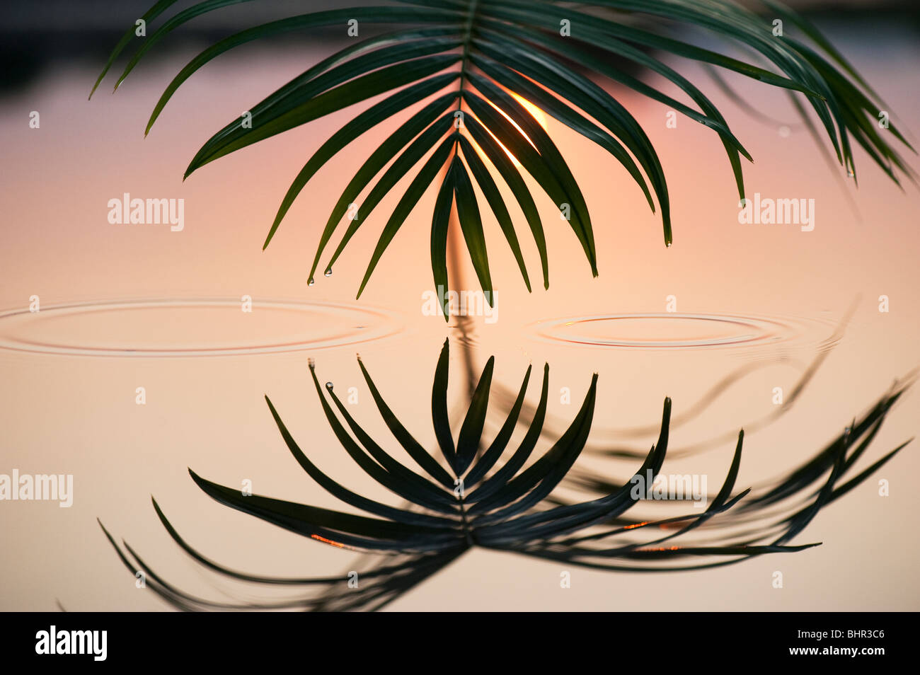 Palm leaf reflecting in a still pool at sunrise in india - Stock Image