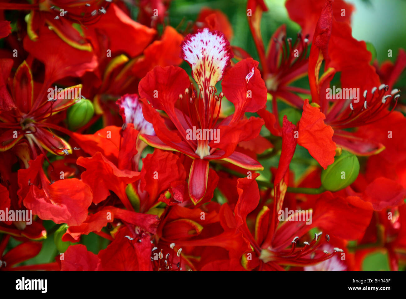 A poinciana in flower - Stock Image