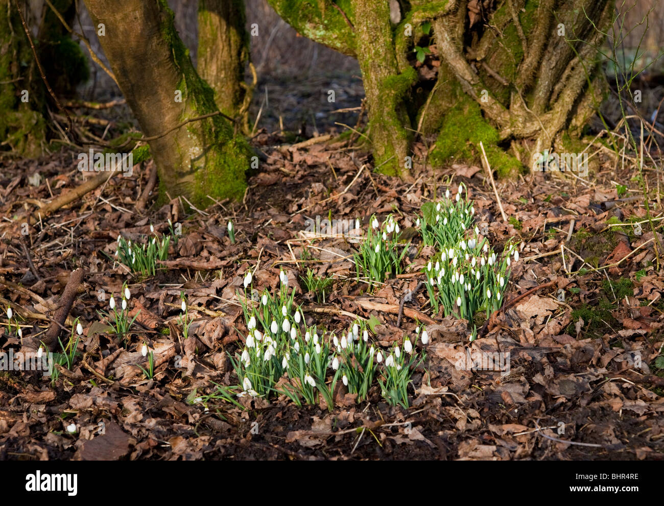 Snow drops in an English wood - Stock Image