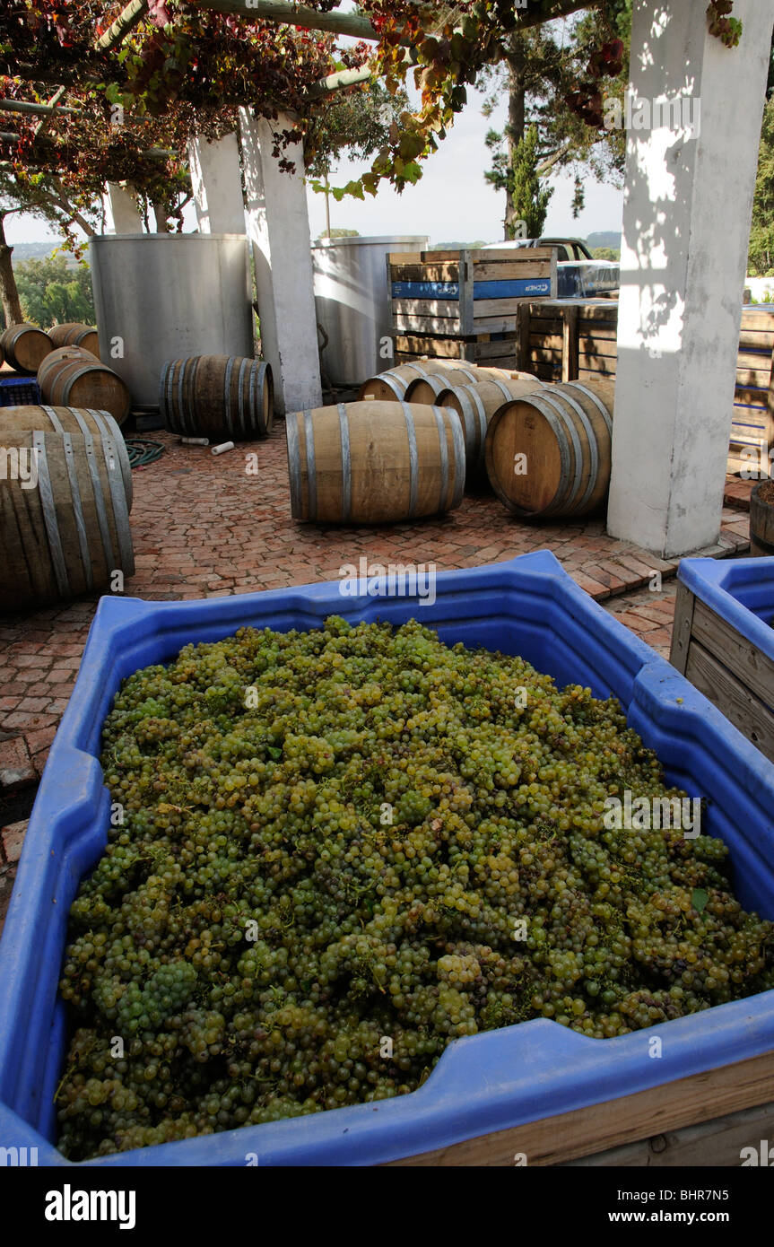 Post House cellar and winery Stellenbosch cape province South Africa at harvest time Chenin grapes arrive for pressing Stock Photo