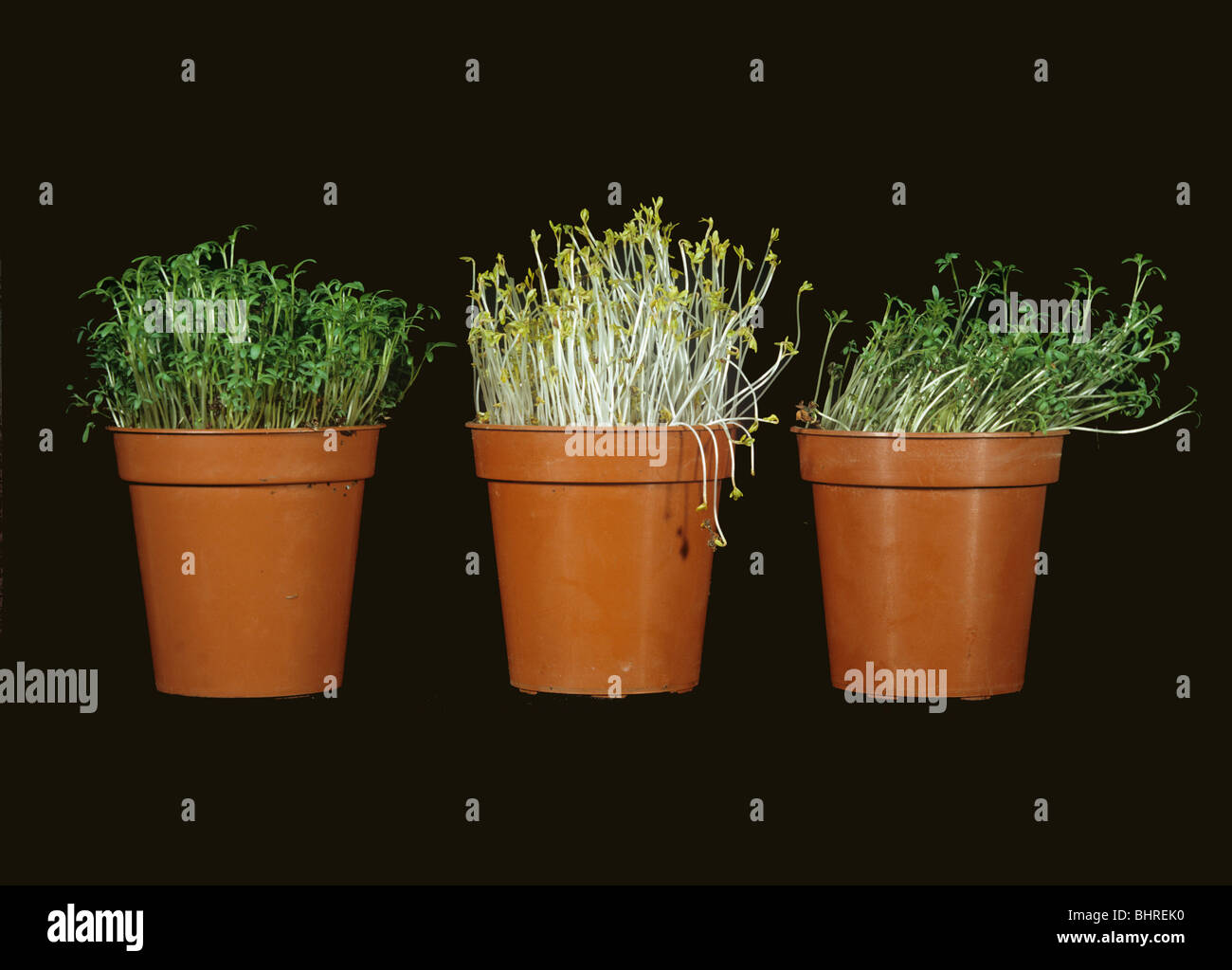 cress seedlings response to no light and directional light stock photo 28175924 alamy. Black Bedroom Furniture Sets. Home Design Ideas