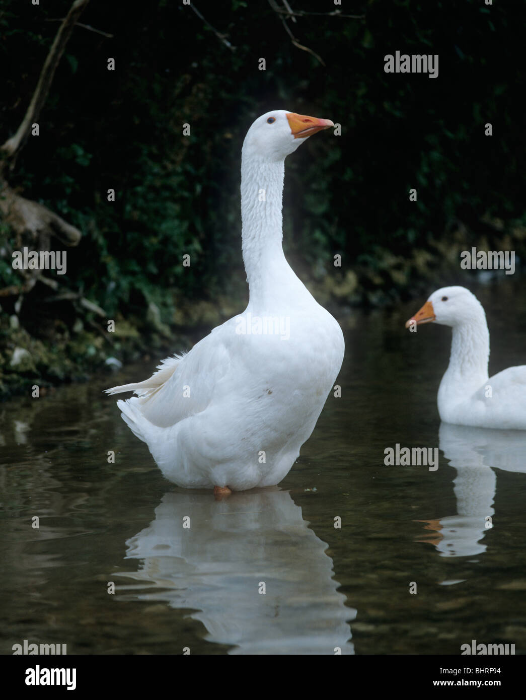 Adult white farmed goose standing in a stream - Stock Image
