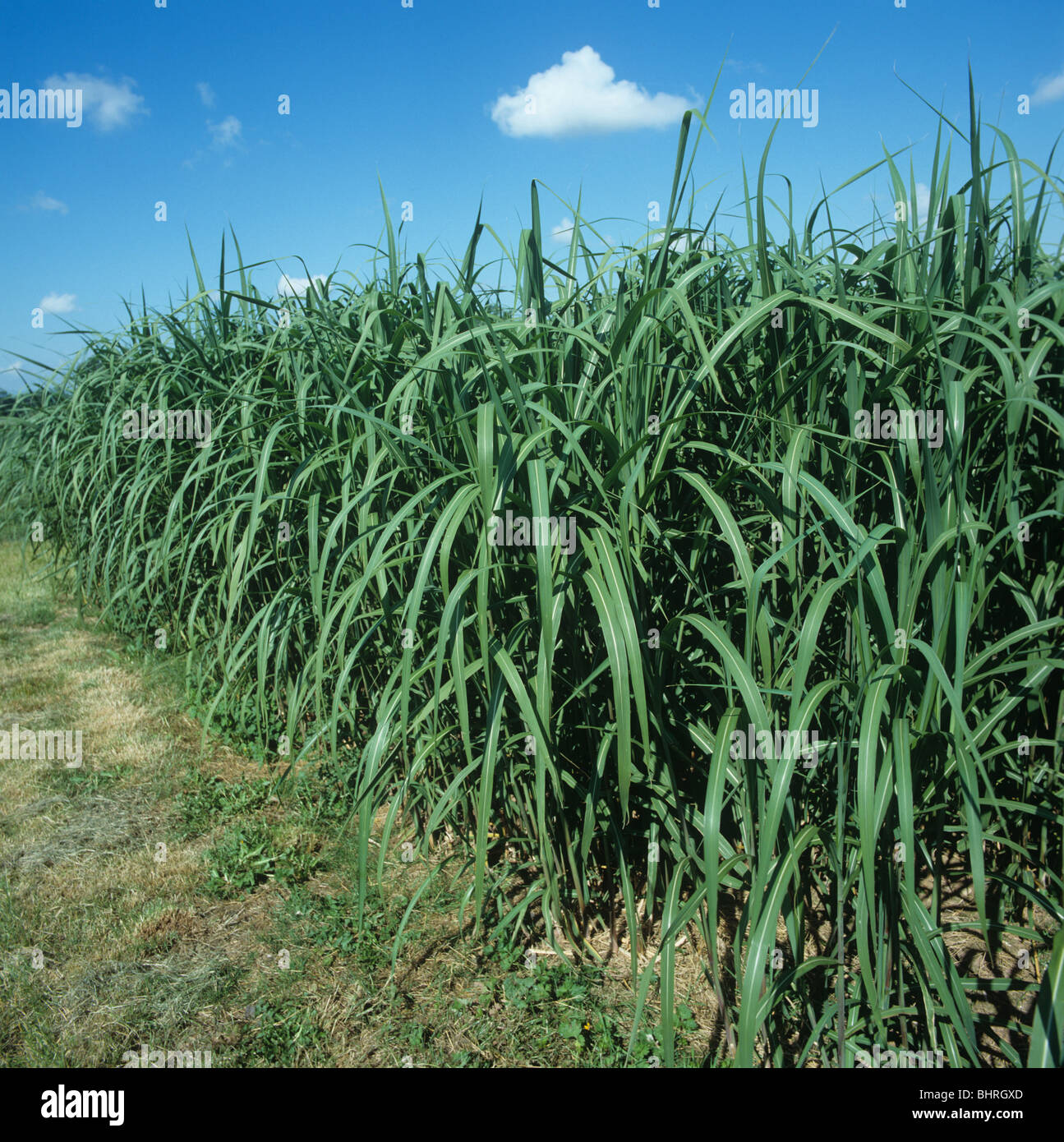 Green elephant grass (Miscanthus spp.) crop used for biomass - Stock Image