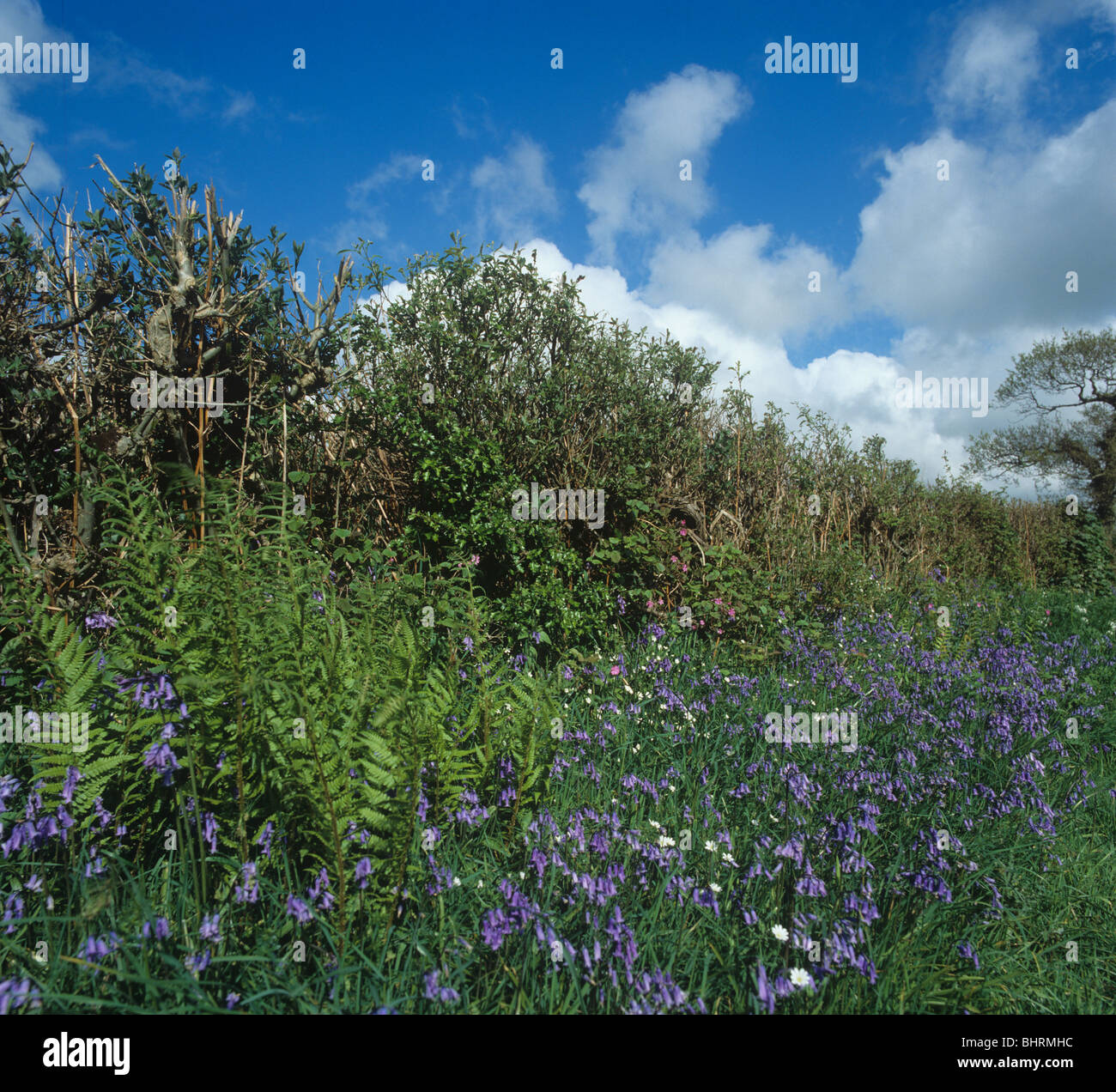 Devon bank and hedgerow with flowering bluebells in spring - Stock Image
