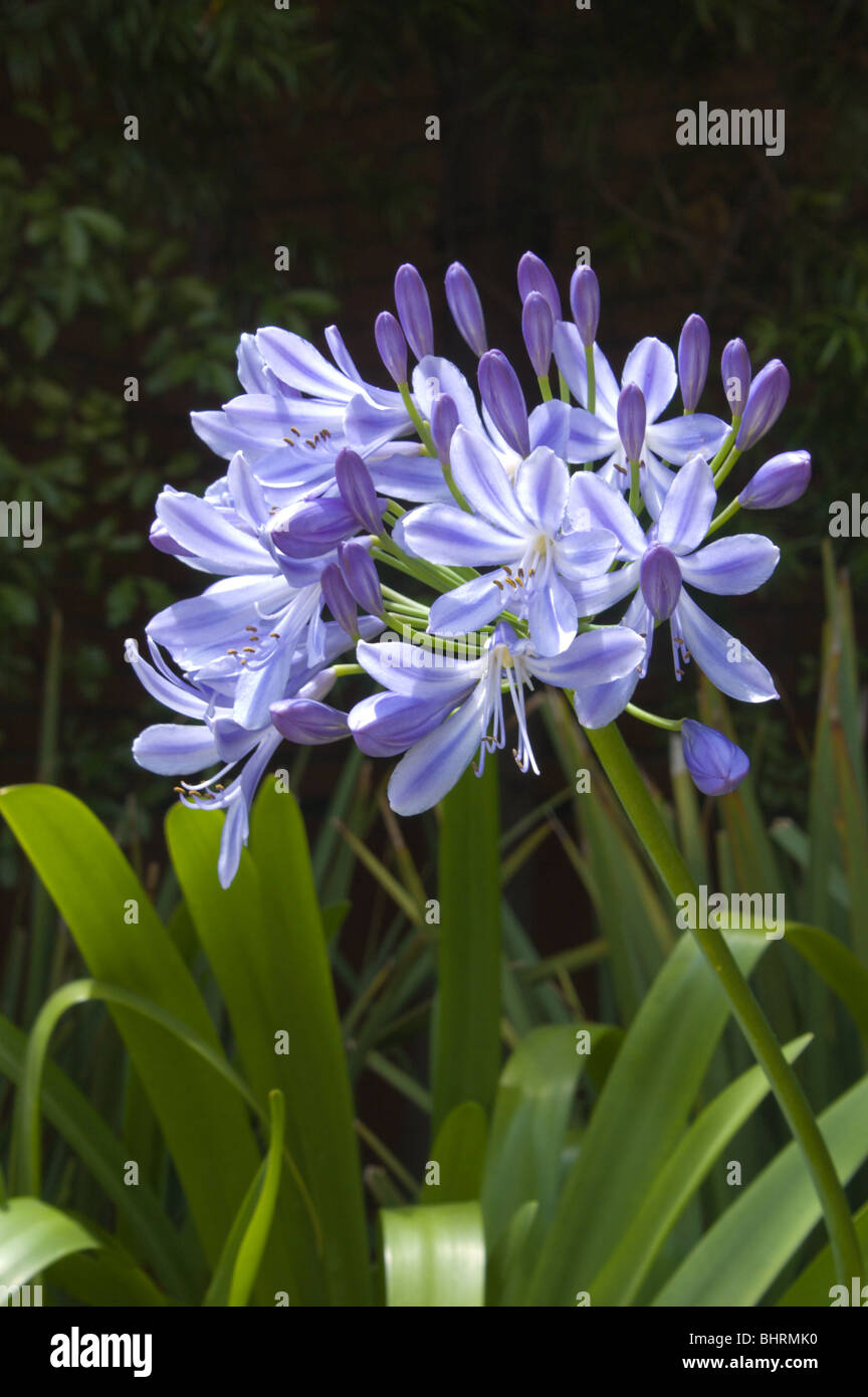 Agapanthus (Lily of the Nile) in a San Francisco garden - Stock Image