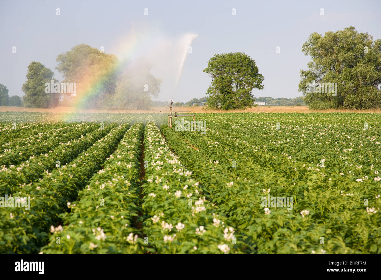 Irrigation Reel In A Potato Crop - Stock Image