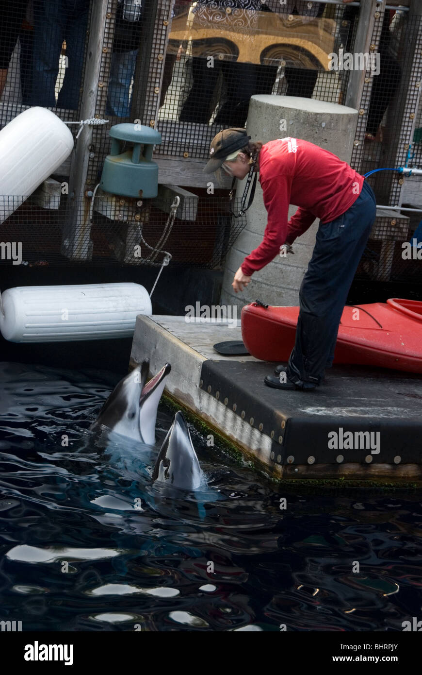 Trainer feeding dolphins at the Vancouver Aquarium in British Columbia - Stock Image