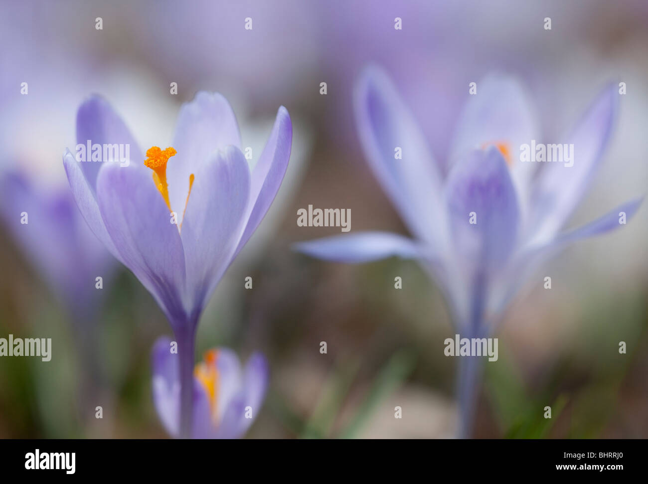 A closeup of a purple crocus in spring - Stock Image