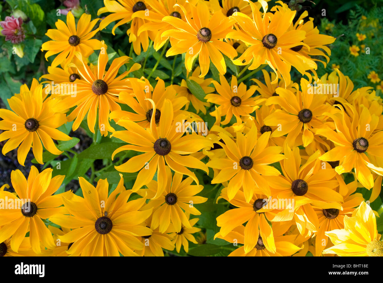 gelbe blumen sonnenhut deutschland yellow flowers germany stock photo 28187390 alamy. Black Bedroom Furniture Sets. Home Design Ideas