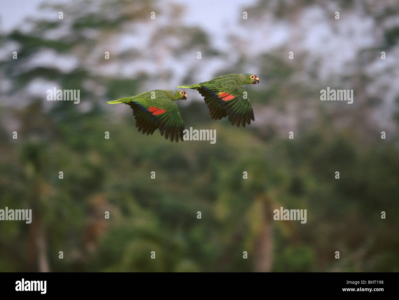 Two Red-lored Parrots flying in pair over the rainforest of Punta Patino nature reserve in Darien province, Republic - Stock Image