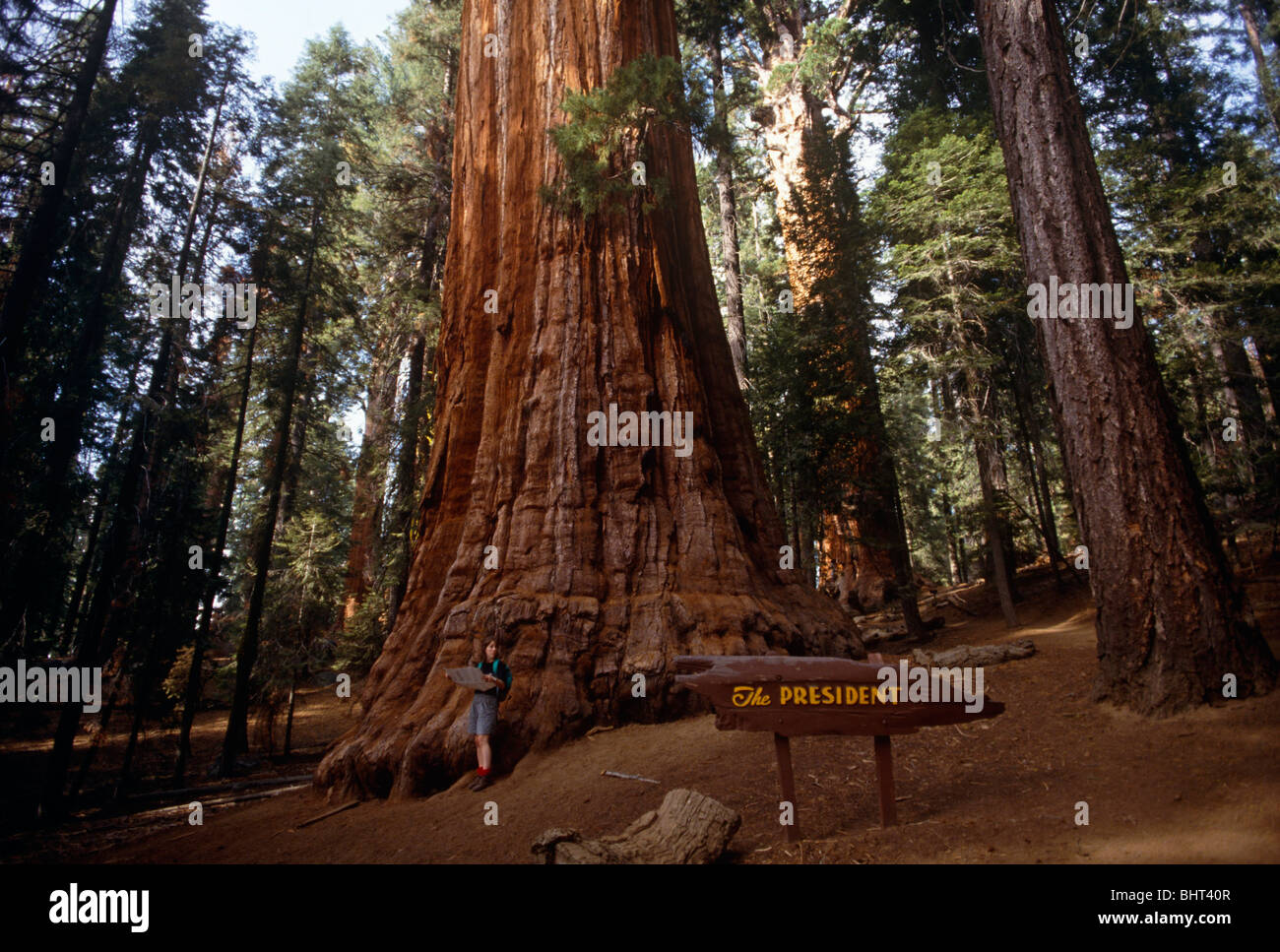 Lady tourist stands with a map of Kings Canyon National Park beneath Giant Sequoia tree called The President. - Stock Image