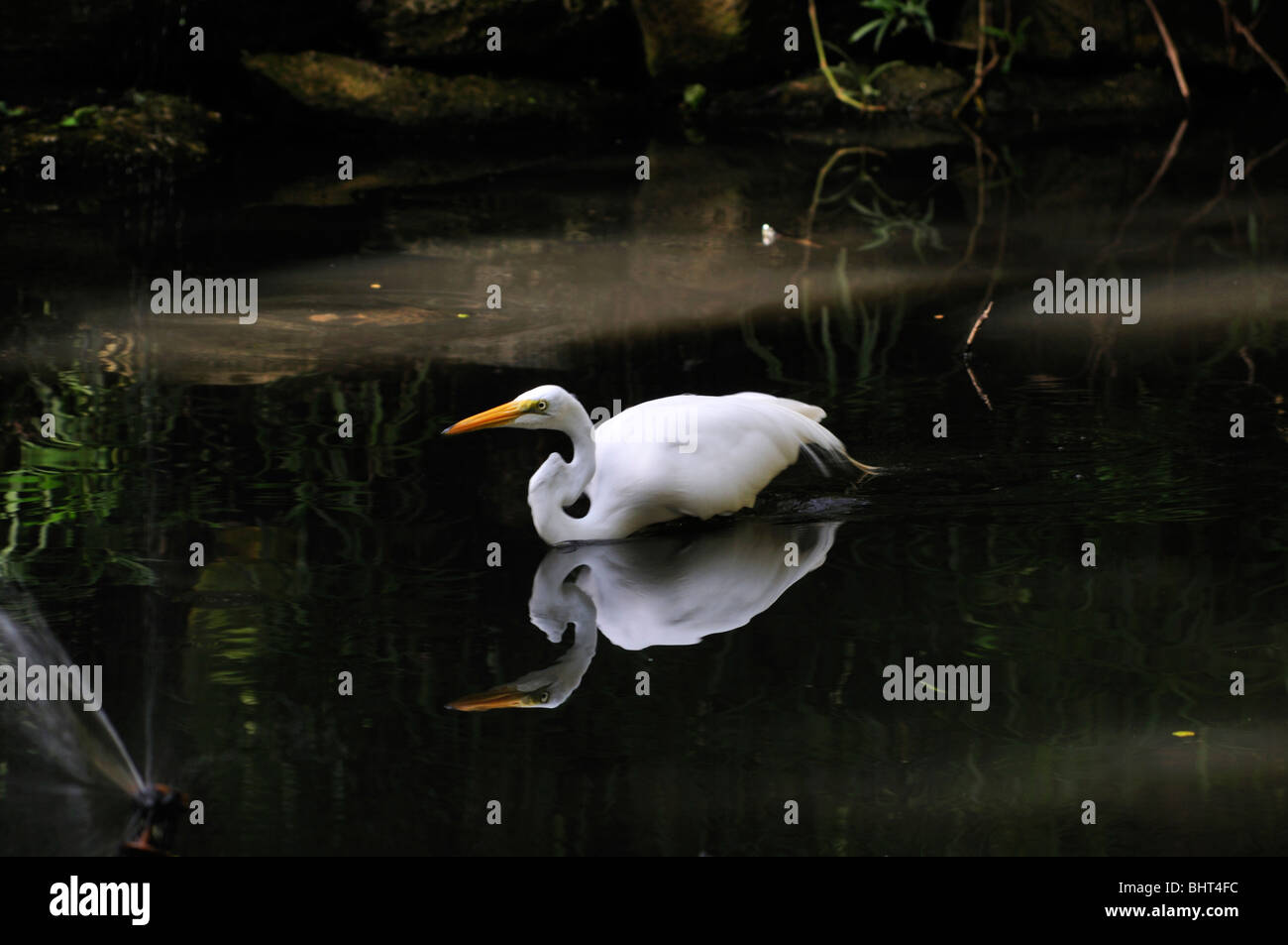 A great egret casting a clear reflection stealthily advances in a pond seeking prey - Stock Image