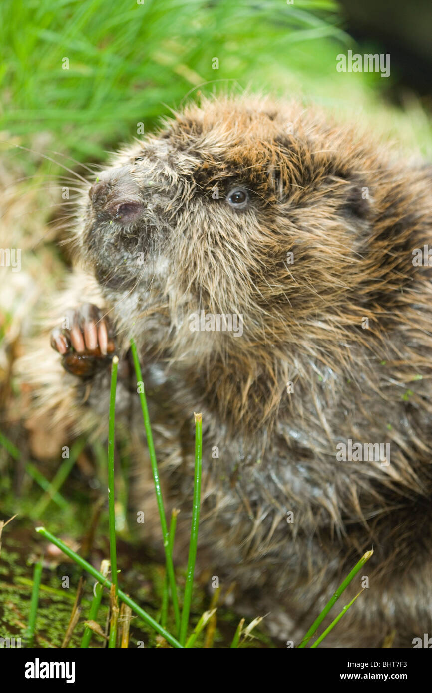 European Beaver (Castor fiber). Manipulating and holding food item to mouth, in order to chew it into smaller pieces. - Stock Image