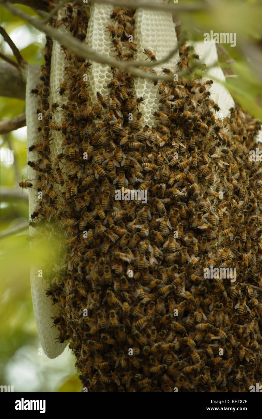Nest of Wild Bees in the forest of Key Biscayne island (Miami area, USA) - Stock Image