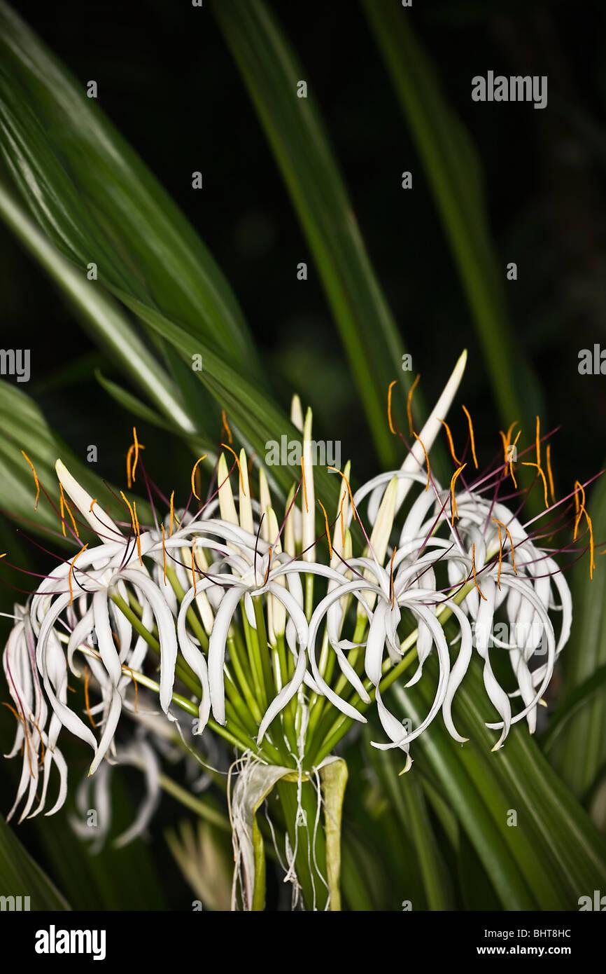 Sumatran Giant Lily (Crinum amabile) Stock Photo
