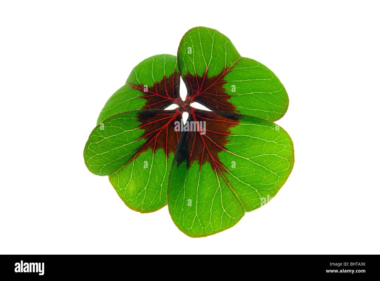 Glücksklee - four leafed clover 29 Stock Photo