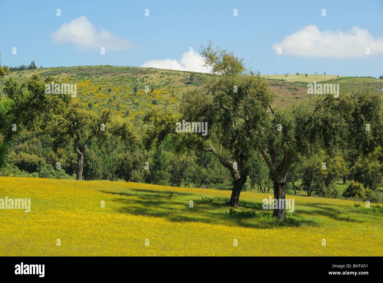 Wiese mit Korkeichen - meadow and cork oaks 03 - Stock Image