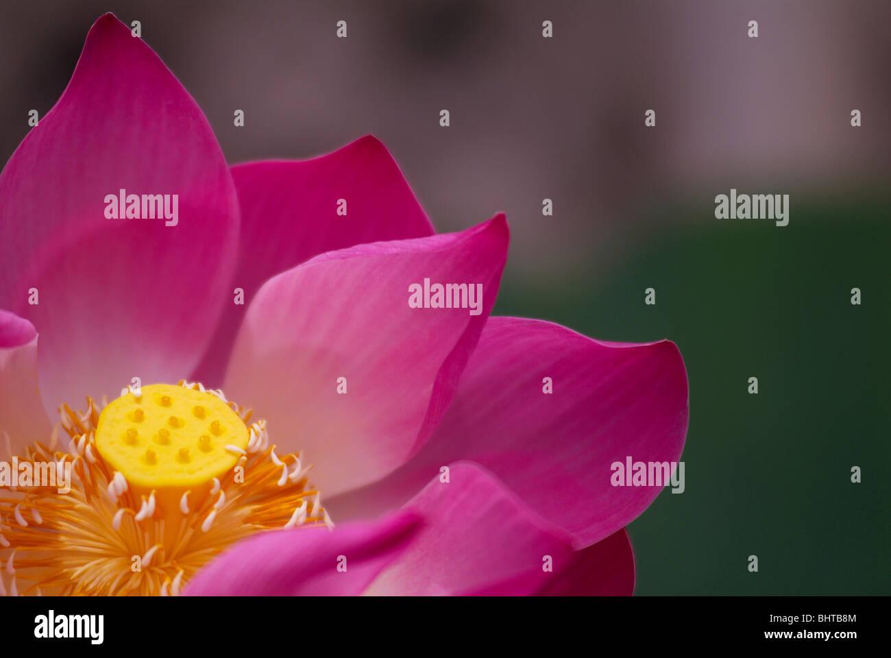 Water lily flower bali indonesia stock photos water lily flower close up of lotus flower stock image izmirmasajfo