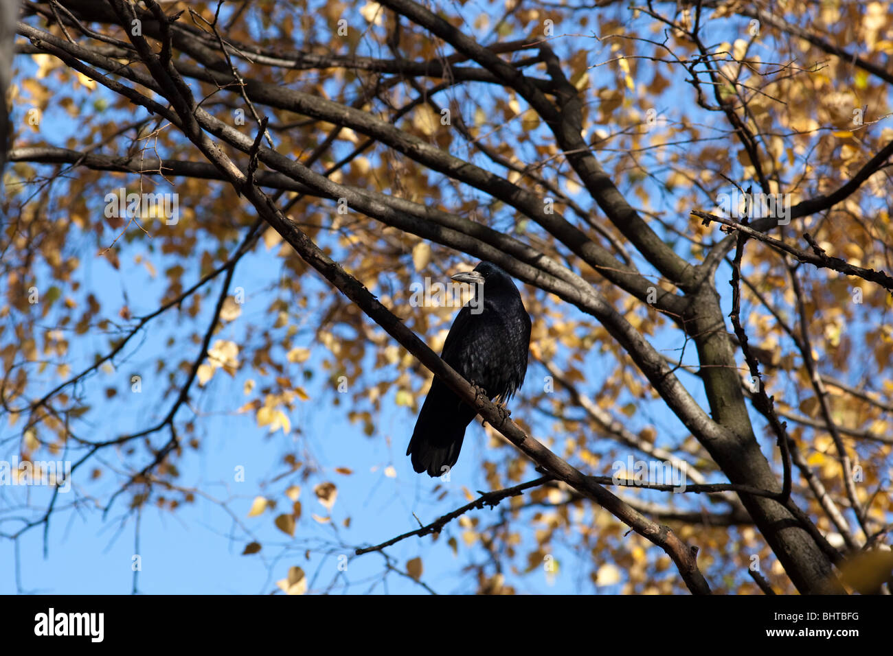 Adult Rook (Corvus frugilegus) in a natural habitat. Wildlife Photography. - Stock Image