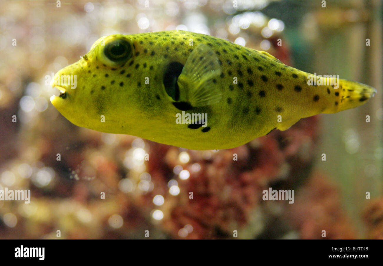 Black Spotted Yellow Puffer Fish - Stock Image