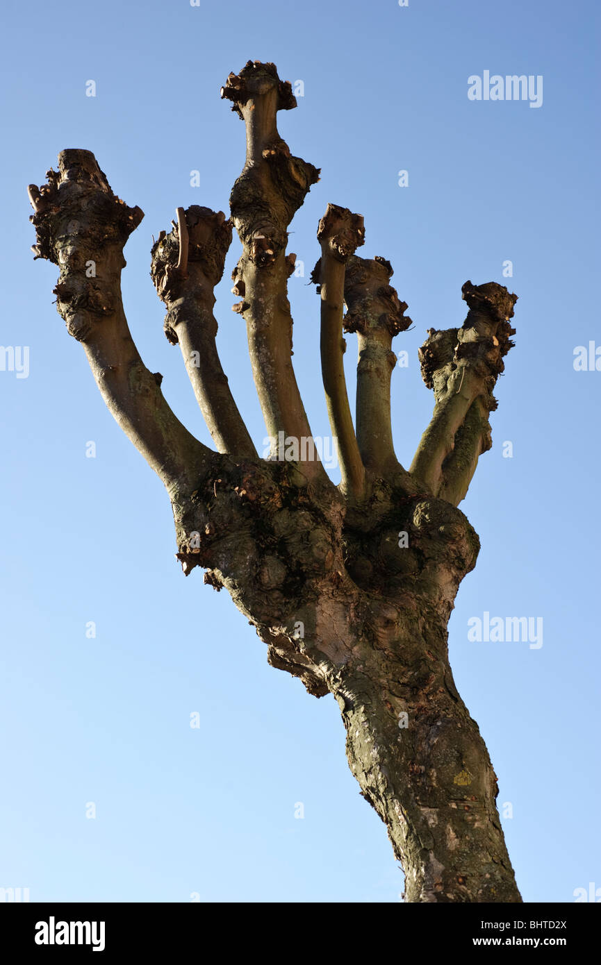 Heavily polarded tree, UK - Stock Image