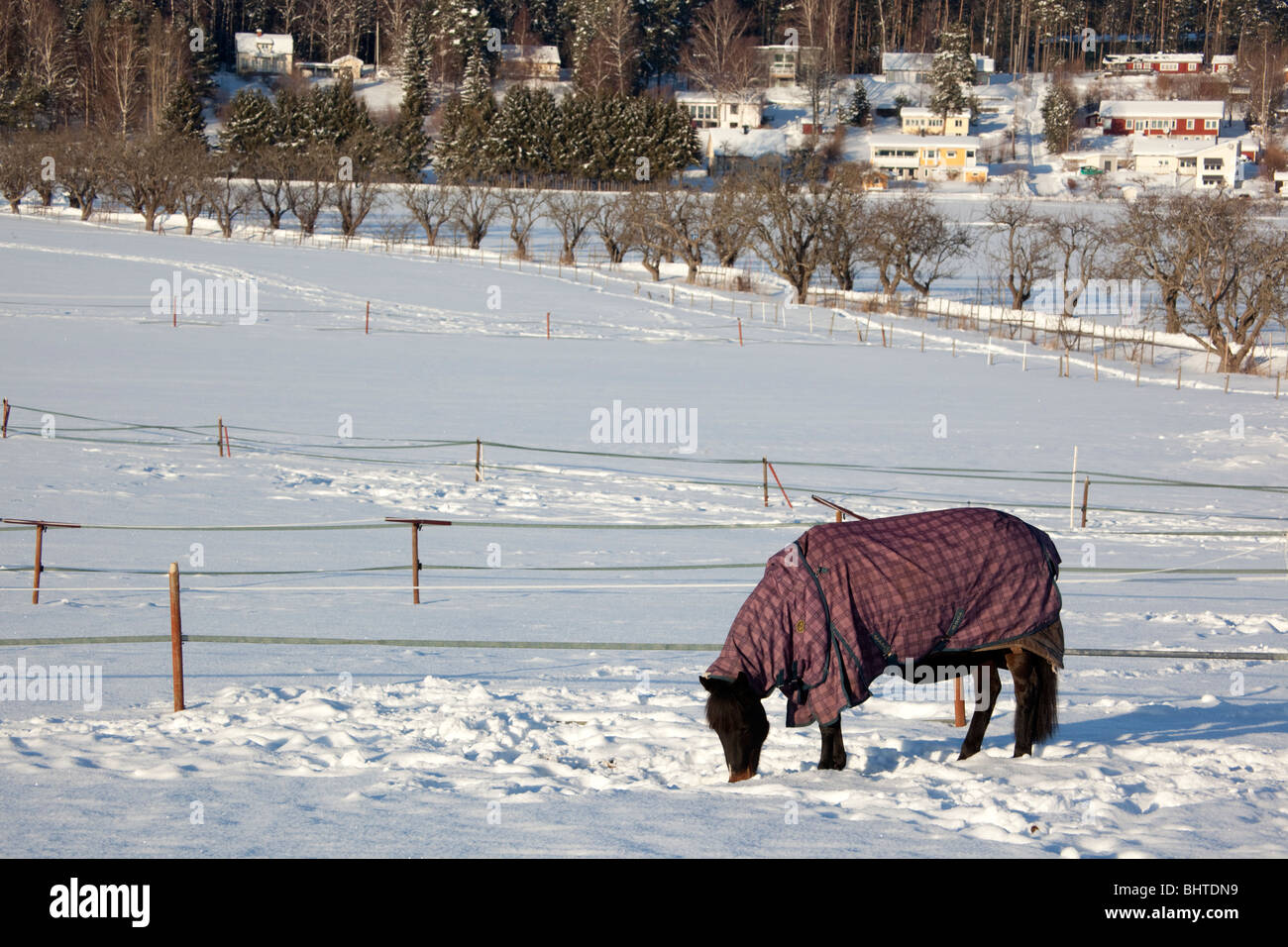 Horses in winter (Ekerö, Sweden) - Stock Image