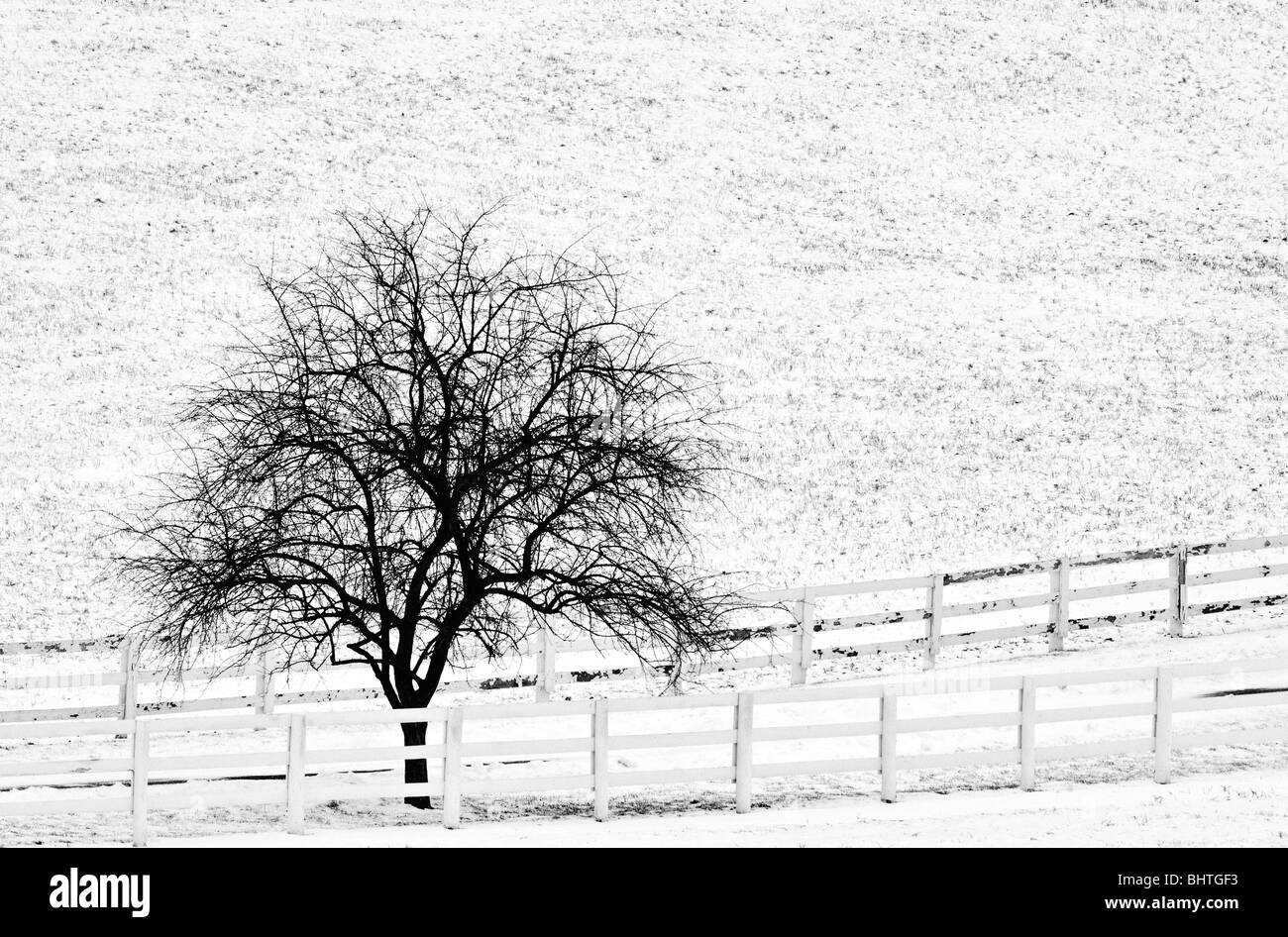 Black and White Photograph of Redbud Tree in Winter Snow Beside Fence in Fayette County, Kentucky - Stock Image