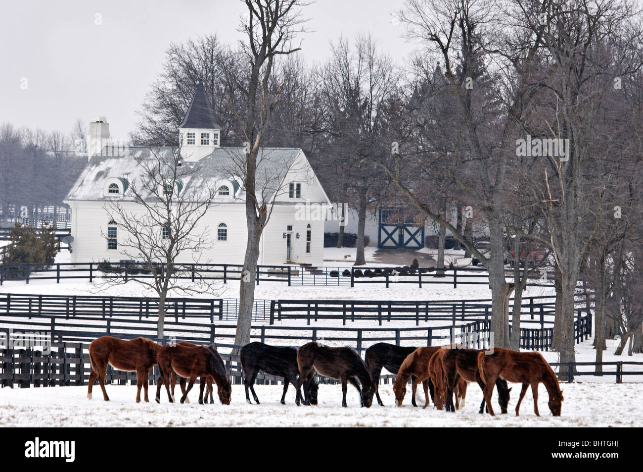Thoroughbred Horses in Snow Covered Paddock in Fayette County, Kentucky - Stock Image