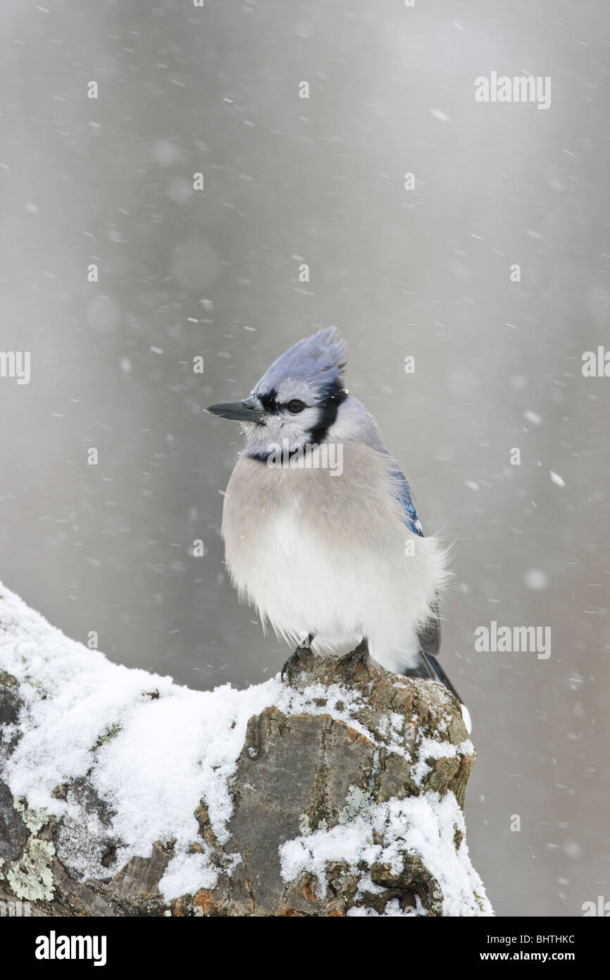 Blue Jay in Snow Stock Photo
