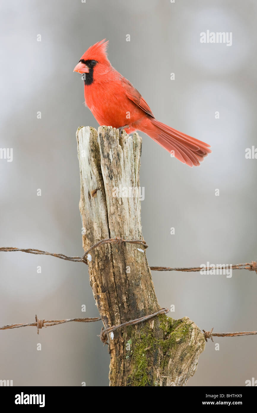 Northern Cardinal perched on Fence Post in Winter - Vertical - Stock Image