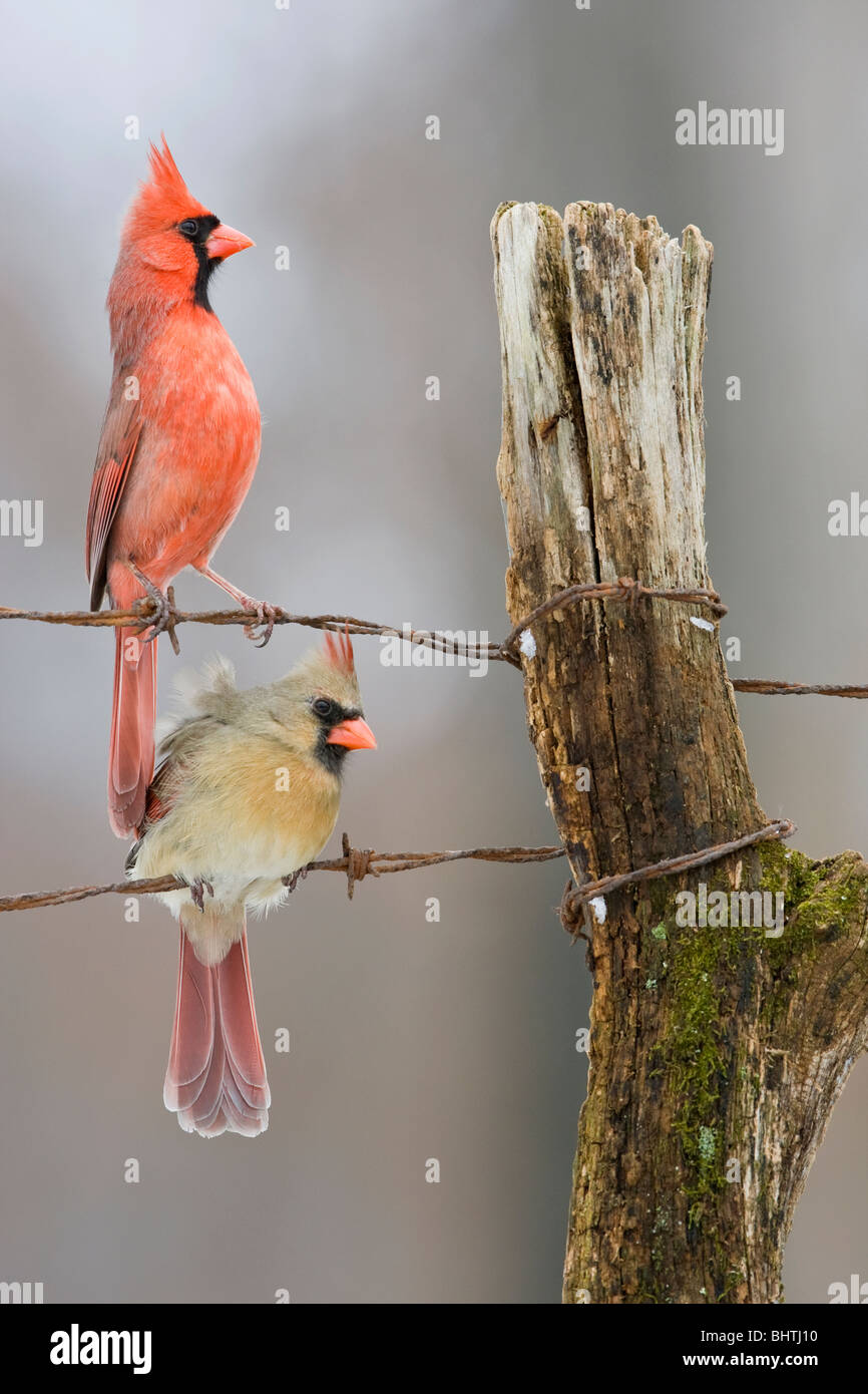 Northern Cardinals perched on fence in winter - vertical - Stock Image