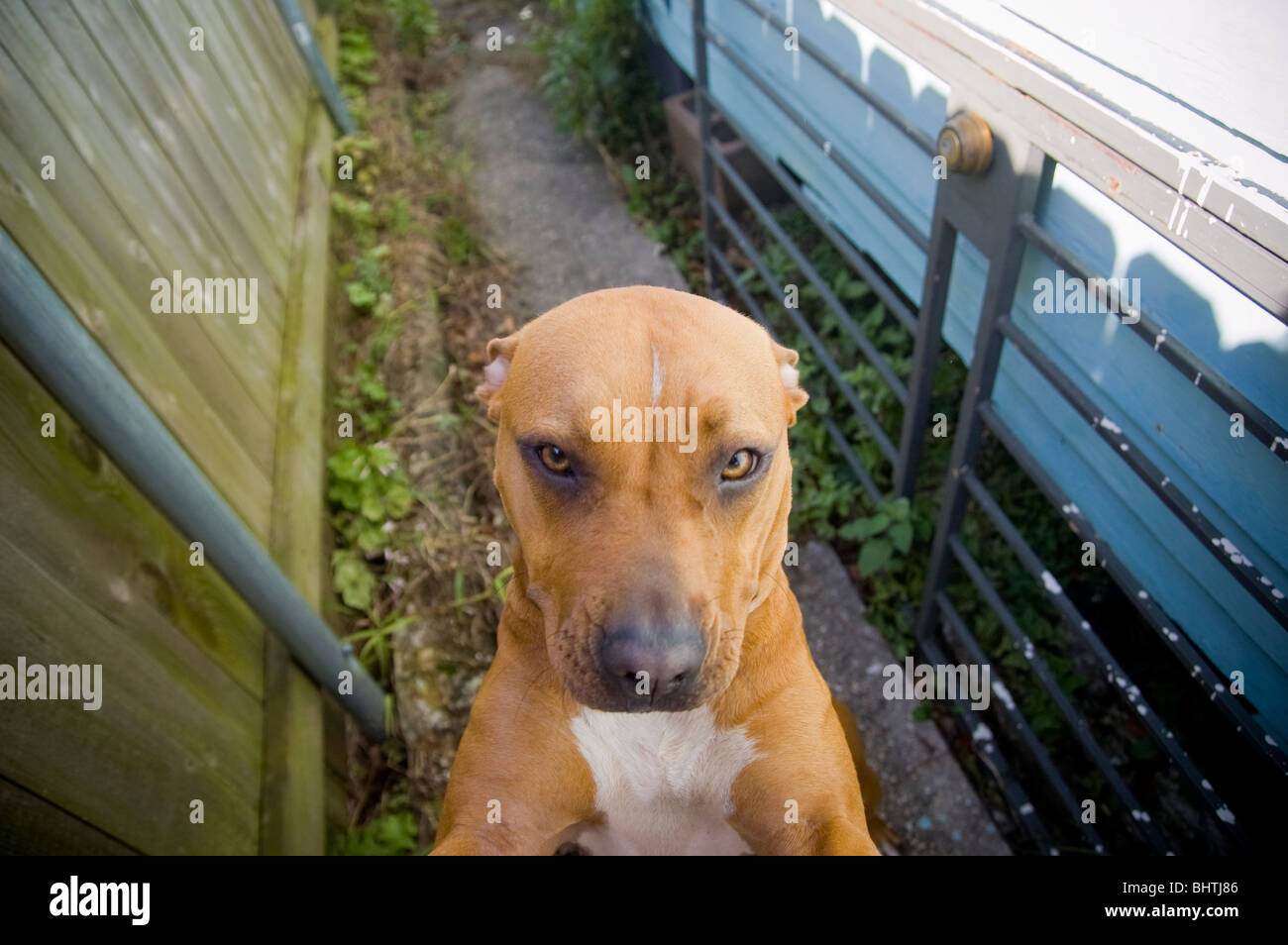 A pit bull with his ears down stand up in an alleyway - Stock Image