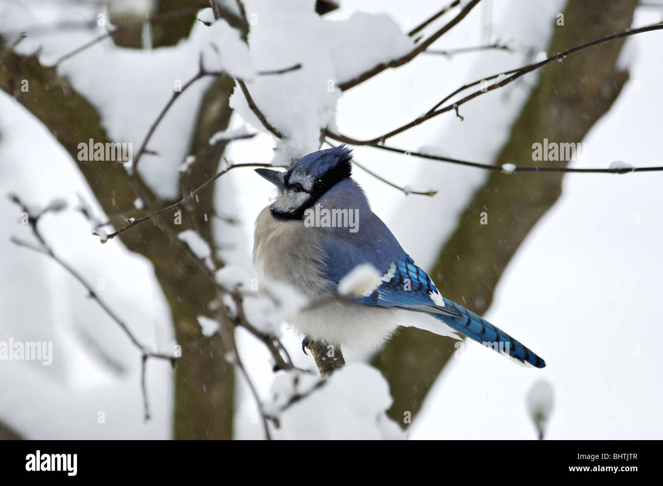 Blue Jay Perched on Branch in Snow Stock Photo