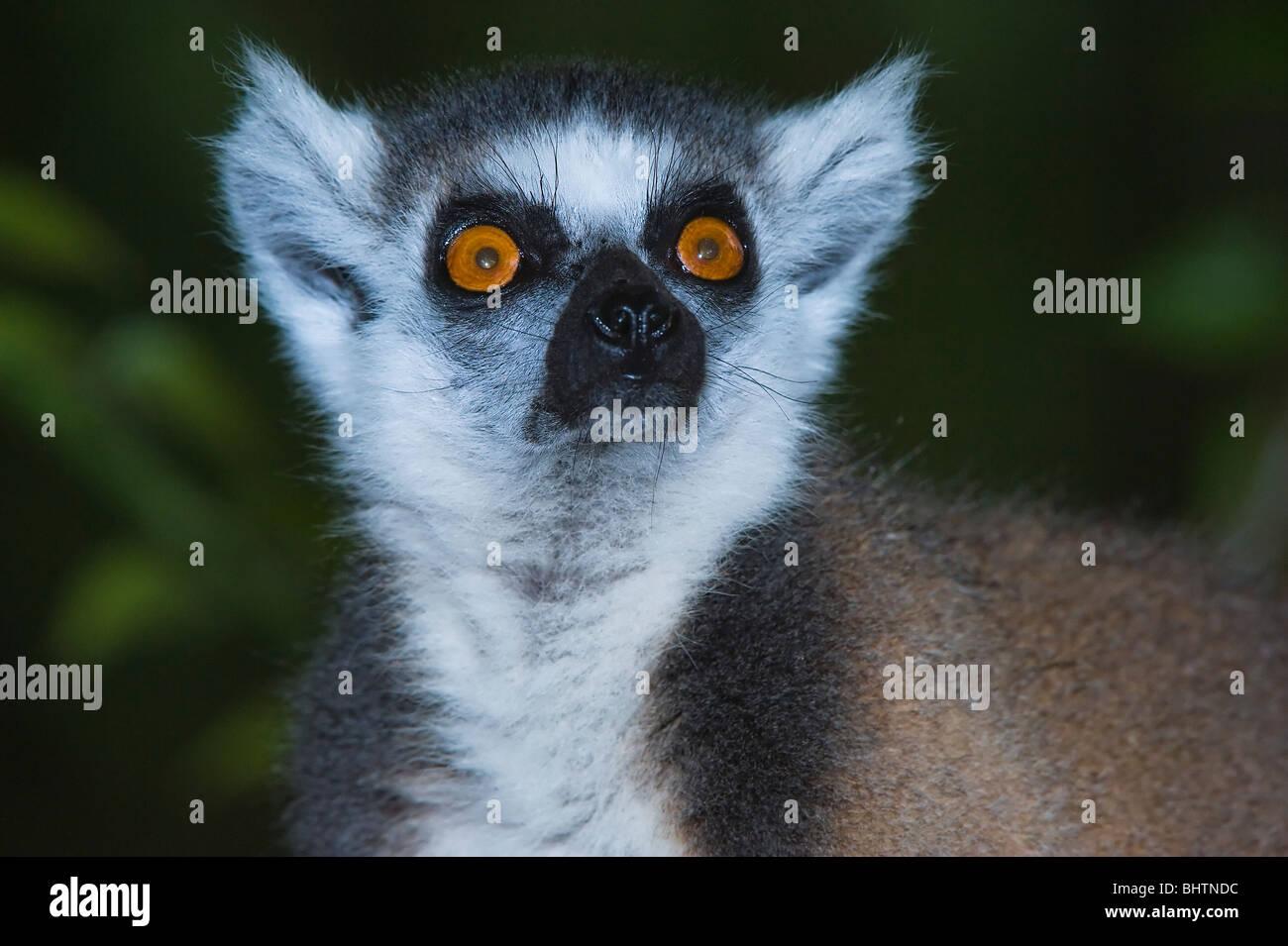 Ring-tailed Lemur (Lemur catta), Portrait, Near Threatened, Nahampoana Reserve, Madagascar - Stock Image