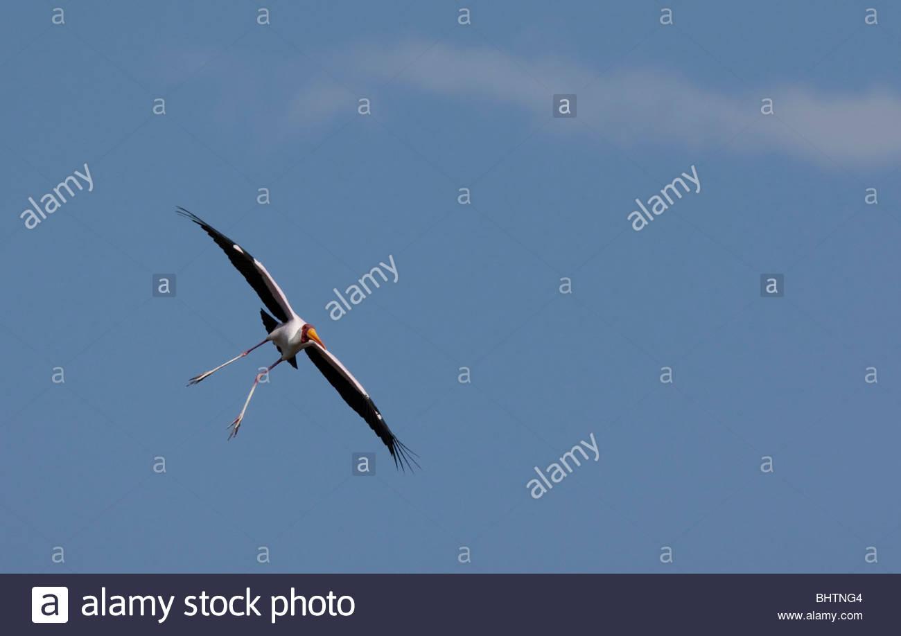 A flying Yellow-billed stork (Mycteria ibis) at Lake Manyara National Park, Tanzania. - Stock Image