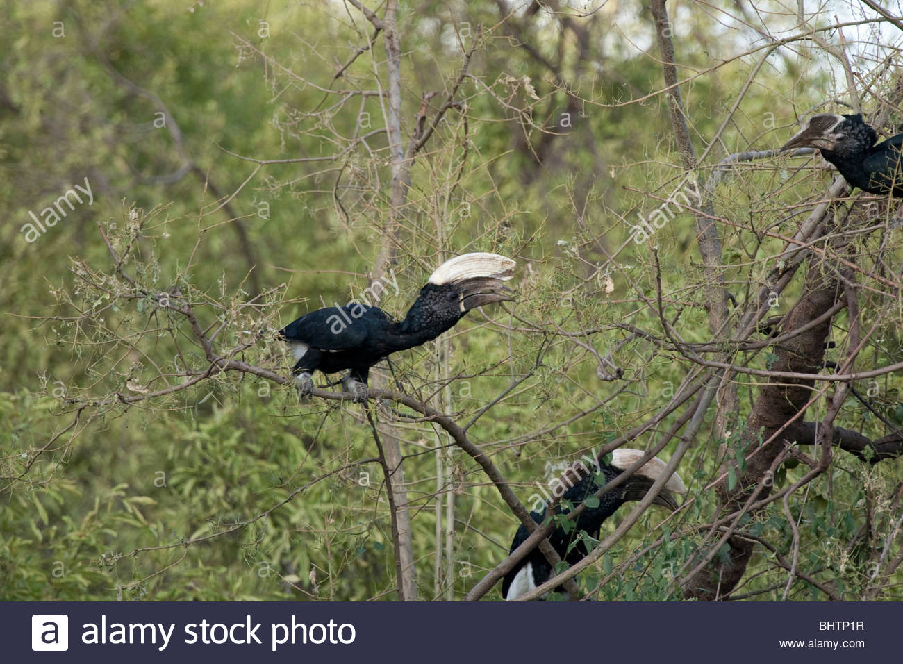 A male (center) Silvery-cheeked Hornbill at Lake Manyara National Park, Tanzania. - Stock Image