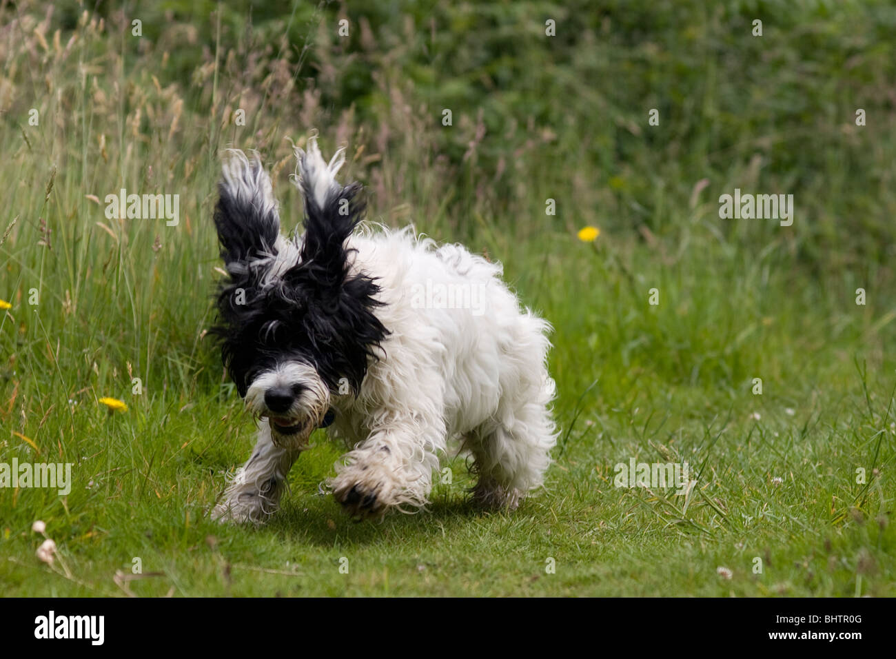 cockerpoo puppy running in countryside - Stock Image