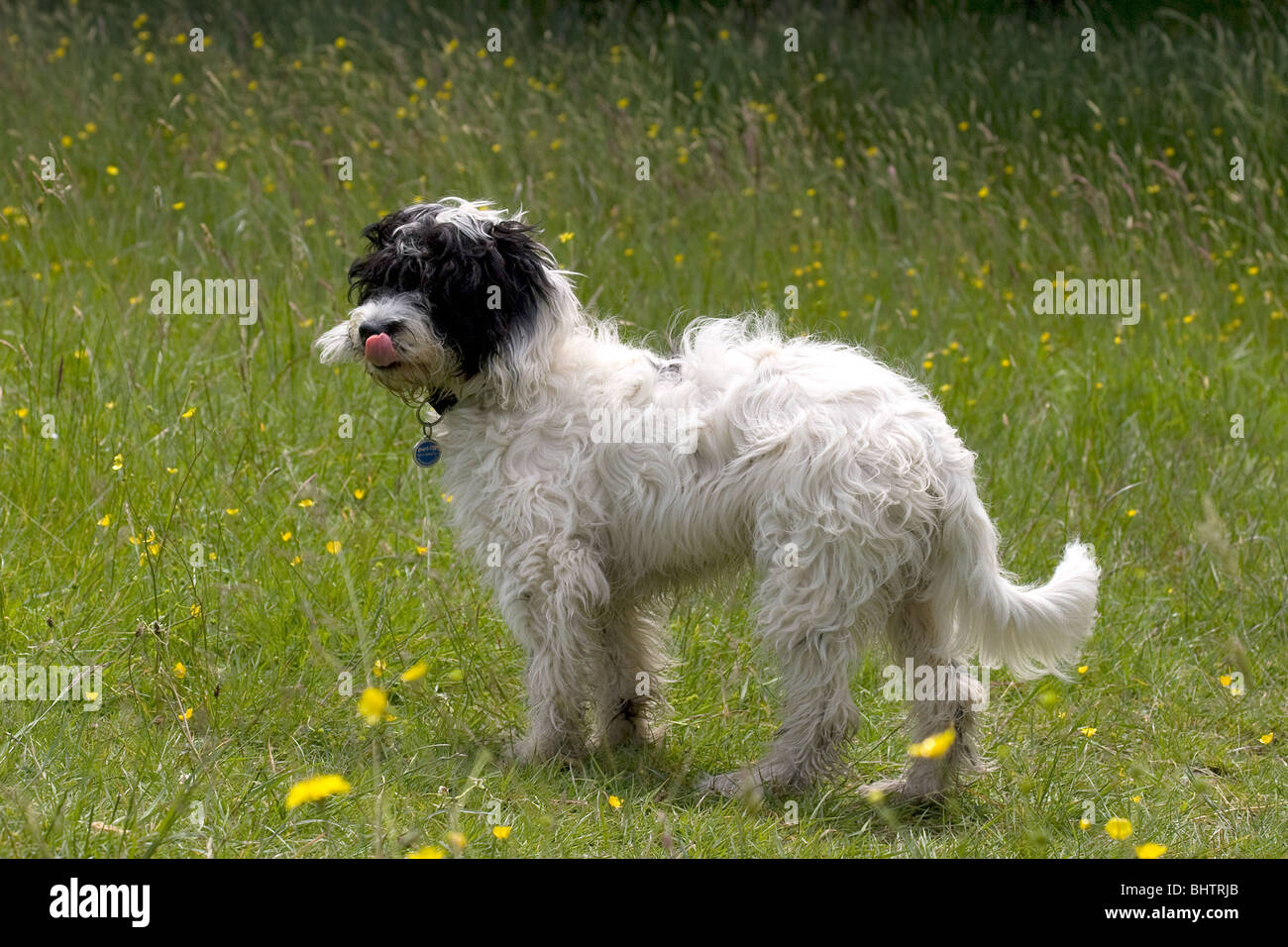 cockerpoo dog standing in spring meadow - Stock Image