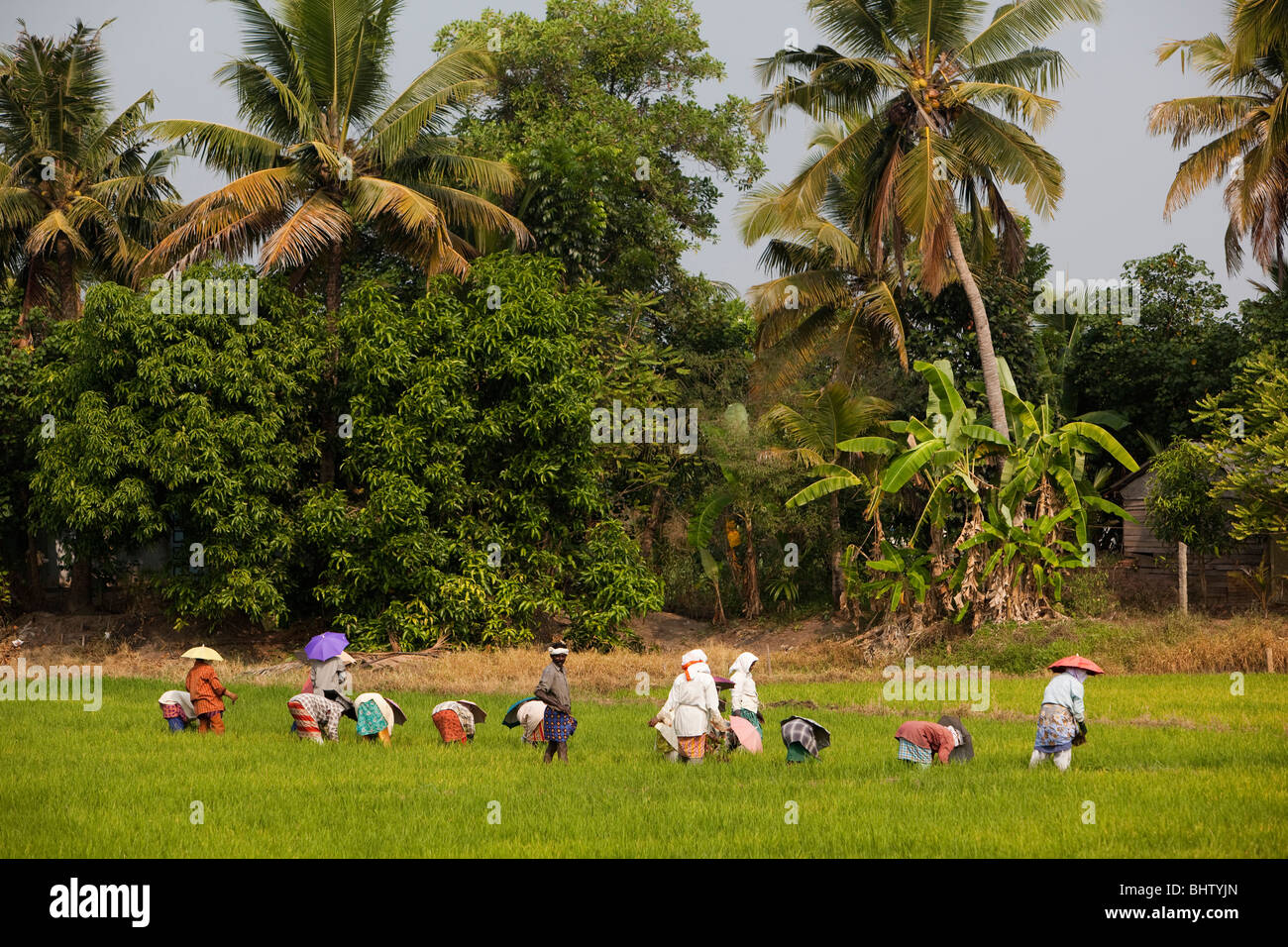 India, Kerala, Alappuzha, Chennamkary, agriculture, farm workers labouring in rice fields - Stock Image